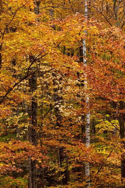Birch and Foliage 9319