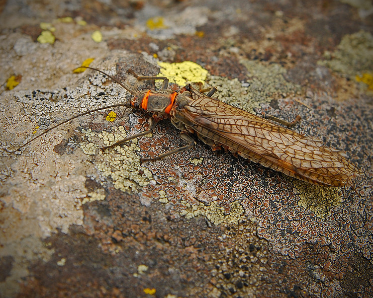 Salmonfly on a Rock