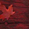 """Color Match""<br /> <br /> About This Image:  In late September, the maple leaves of Eastern Idaho begin to turn color.  The light on the edge of the leaf is from a bonfire to keep us warn on a chilly September evening.   <br /> <br /> Photographs Available:  See the drop down menu to the upper right for a list of print sizes and prices for this photo."