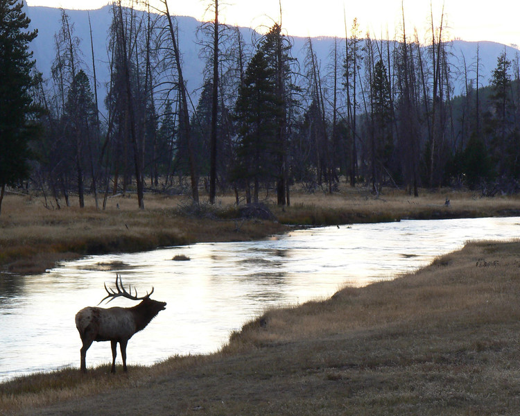 Madison River Elk, Yellowstone