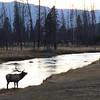 Madison River Elk, Yellowstone