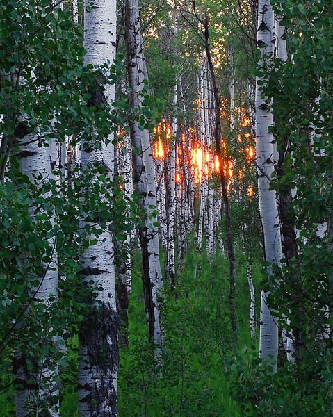 Untitled <br /> <br /> About This Image:   The summer sun shines through a grove of aspen trees near Ashton, Idaho.    <br /> <br /> Photographs Available:  See the drop down menu to the upper right for a list of print sizes and prices for this photo.