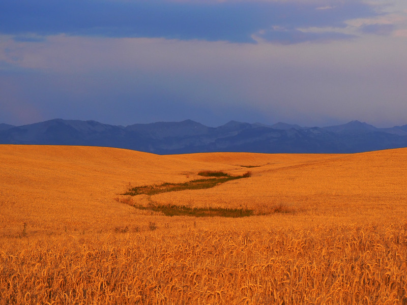 Amber waves of grain and purple mountains near Ashton, Idaho