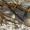 Sharptail Grouse near Ashton, Idaho