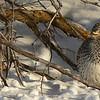Sharptail Grouse near Ashton, Idaho