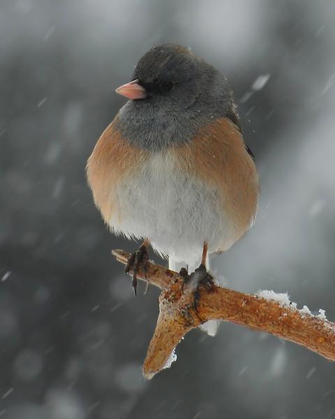 Dark-eyed Junco: Snow