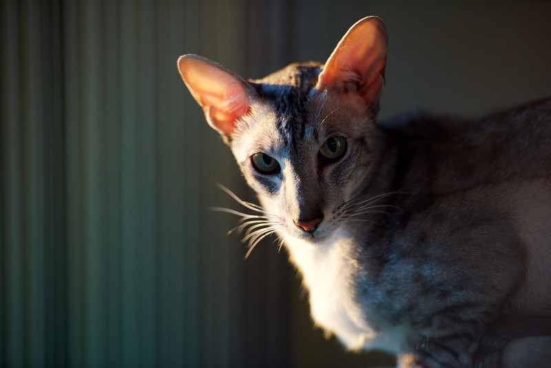 Maui ~ Ebony-spotted Oriental Shorthair