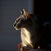 Maui, our beautiful Oriental Shorthair