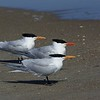 The Royal Tern Trio ~ Thalasseus maximus ~ Southern Outer Banks
