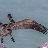 Leap of Faith ~ Brown Pelican ~ Port St. Lucie, Florida ~ Pelecanus occidentalis