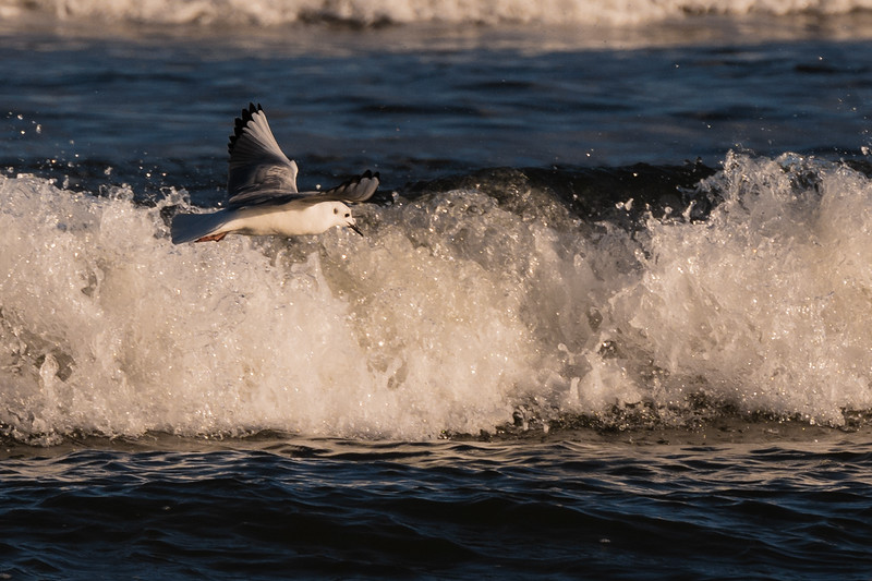 Bonaparte's Gull ~ Chroicocephalus philadelphia ~ Southern Outer Banks, North Carolina
