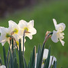 Narcissus ~ Amaryllidaceae ~ Southern Outer Banks