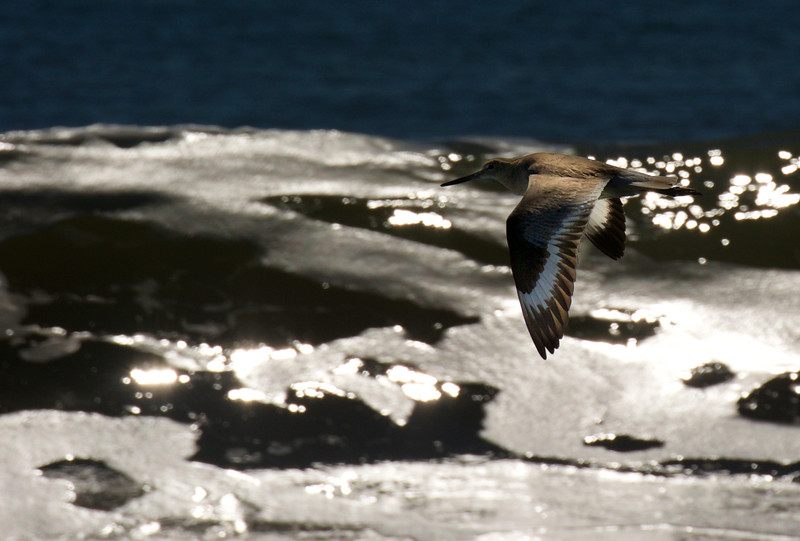 Willet over the Atlantic ~ Tringa semipalmata ~ Southern Outer Banks