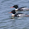 Red-breasted Merganser, Male ~ Mergus serrator ~ Southern Outer Banks