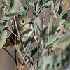 Ruby-crowned Kinglet ~ Regulus calendula ~ Southern Outer Banks