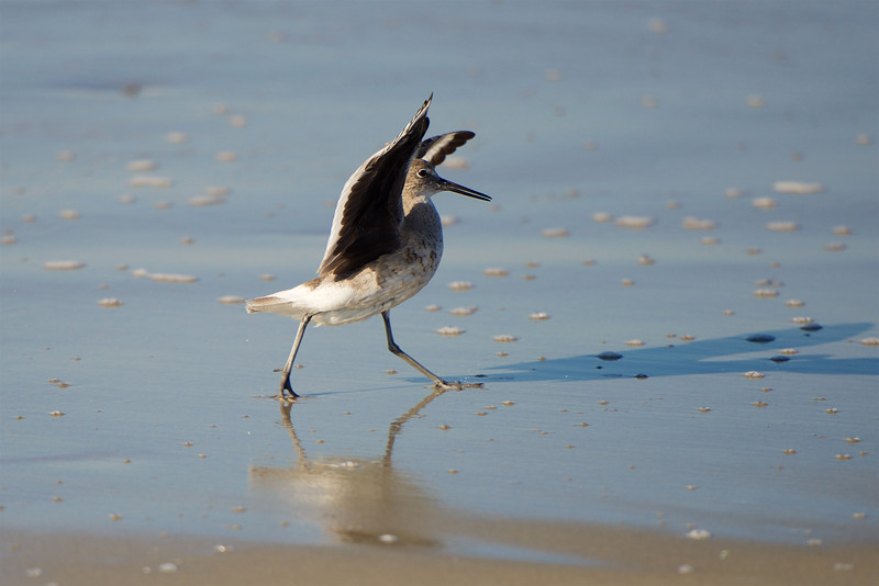 Willet ~ Tringa semipalmata ~ Southern Outer Banks