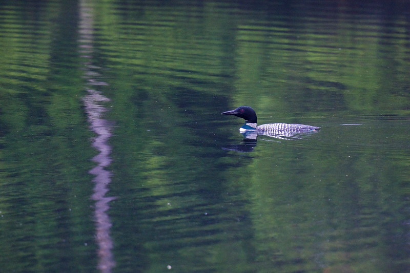 """Spirit of the North"" ~ Common Loon ~ Gavia immer ~ Hancock Pond, Maine"