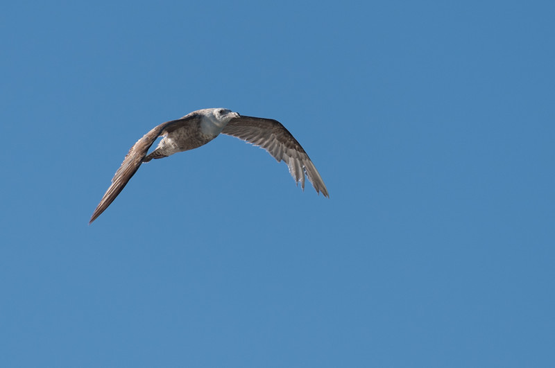 Herring Gull, probably 2nd year ~ Larus argentatus ~ Southern Outer Banks
