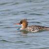 Red-breasted Merganser, Female ~ Mergus serrator ~ Southern Outer Banks