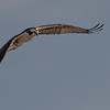 Osprey ~ Pandion haliaetus ~ Canaveral National Seashore, Florida