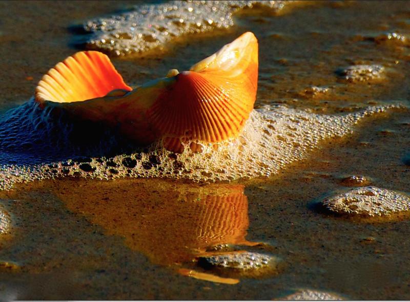 seashell by the seashore II