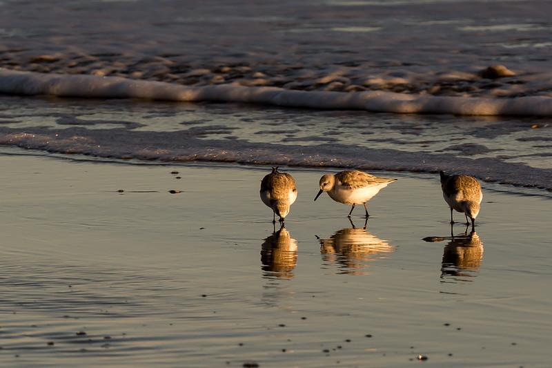 Sanderlings ~ Calidris alba ~ Southern Outer Banks