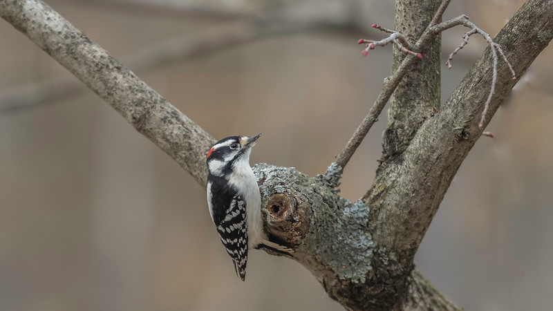 Downy Woodpecker, Leaning Against Stiffened Tail Feathers for Support ~ Dryobates pubescens ~ Huron River and Watershed, Michigan
