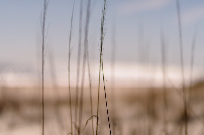 wild sea oats ~ Eastern Seaboard