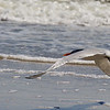 Royal Tern in Flight ~ Thalasseus maximus ~ Southern Outer Banks
