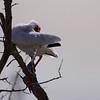 White Ibis ~ Eudocimus albus ~ Southern Outer Banks