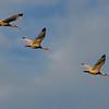 flying White Ibis ~ Eudocimus albus ~ Southern Outer Banks