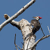 Pileated Woodpecker ~ Dryocopus pileatus ~ Southern Outer Banks