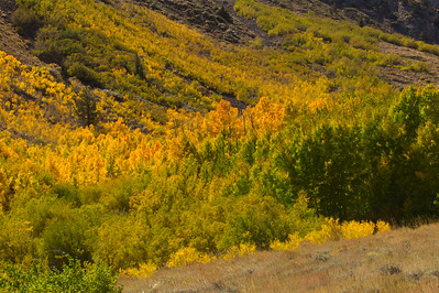 IMG_1320,Aspens in Autumn, Eastern Sierra