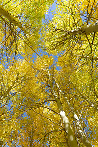 IMG_1365 Golden Canopy, Aspens in Autumn, Eastern Sierra