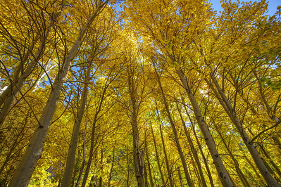 Golden Aspen, Eastern Sierra, Ca