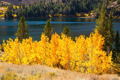 Golden Aspen, Eastern Sierra CA.