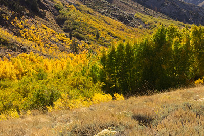 IMG_1351 Aspen Groves, Eastern Sierra, Autumn gold
