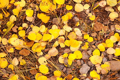 Forest Floor in autumn. Mammoth Lakes CA.