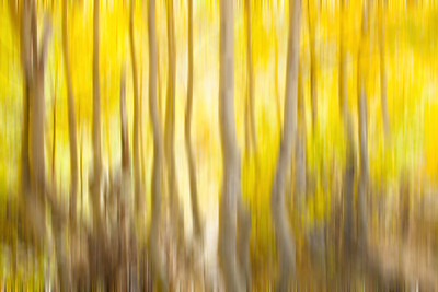Golden Aspens with vertical motion blur, Eastern Sierra