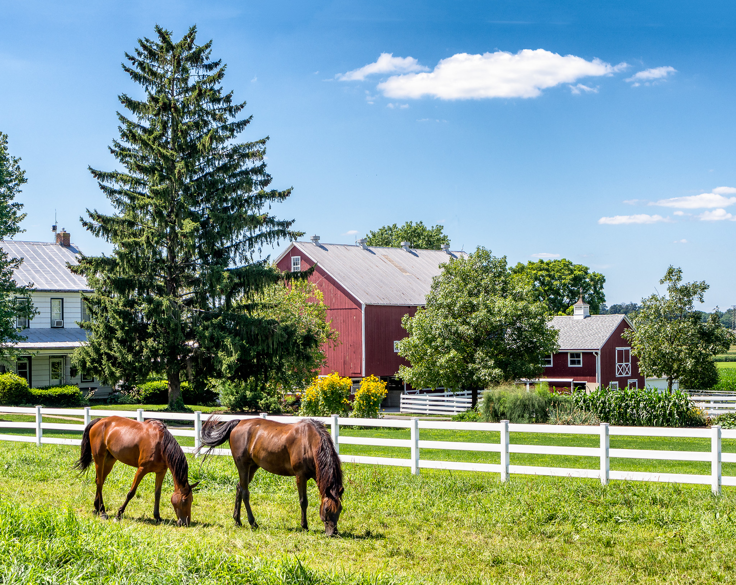 Two Horses, White Rail Fence & Red Barn