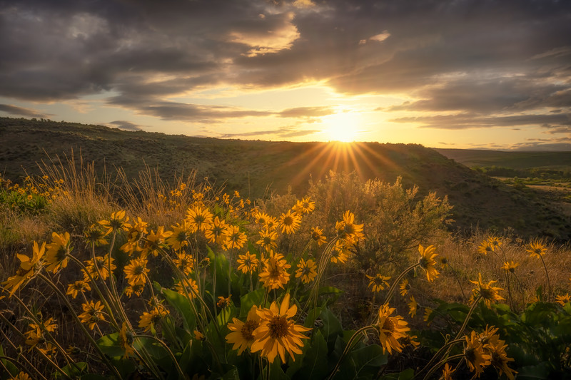 Golden Flowers of the Western Sun