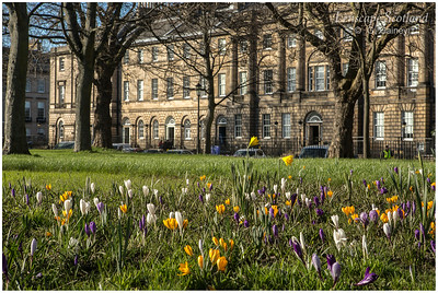 Crocuses in Charlotte Square Gardens