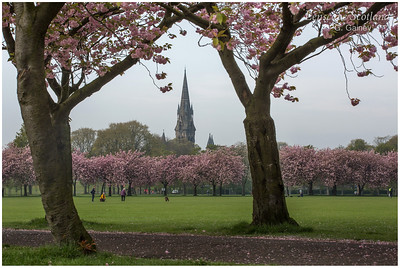 Pink cherry blossom in The Meadows (1)