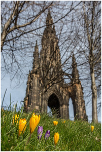 Crocuses in Princes Street Gardens (1)