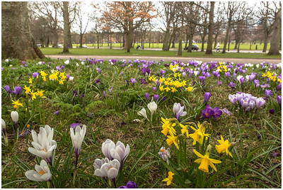 Crocuses on Melville Drive (The Meadows)