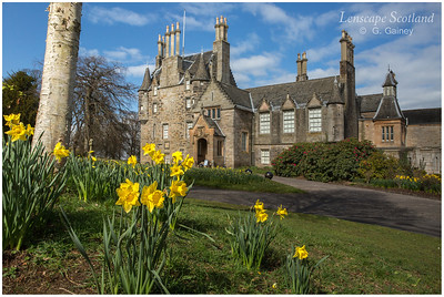 Daffodils in the grounds of Lauriston Castle
