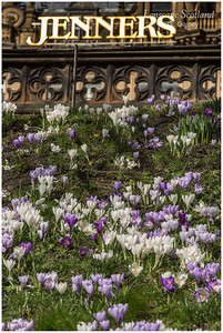 Crocuses in Princes Street Gardens (2)