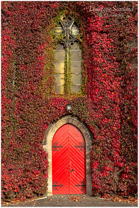 Liberton Kirk covered in red vine (2)