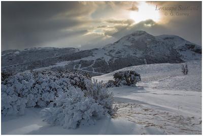 Snow-covered broom, Holyrood Park
