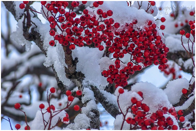rowan berries in snow, East Market Street